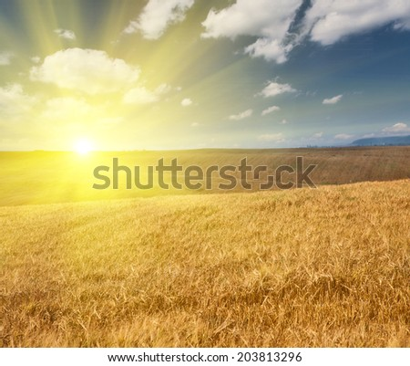 landscape with golden barley field under blue sky and clouds