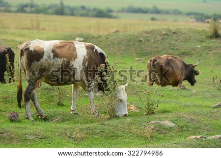 Landscape with grazing cows - stock photo