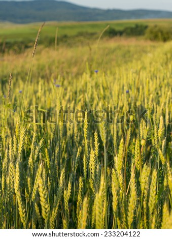 landscape with green wheat field - stock photo