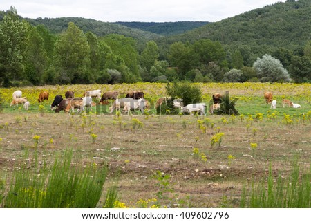 Landscape with herd of cows, grazing in plain or meadow with yellow flowers; on the banks of a river with poplars and willows beside hills or mountains with vegetation of oak in the background - stock photo