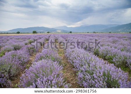 Landscape with lavender field  background of dramatic sky - stock photo
