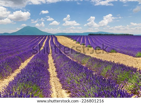 Landscape with lavender field. Provence, France.