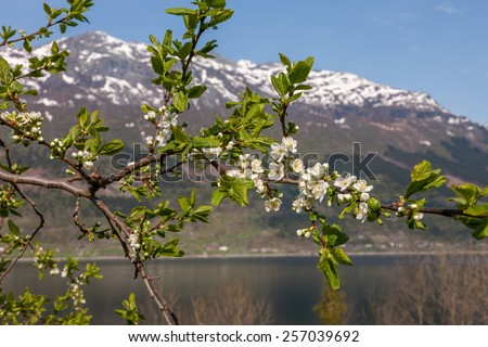 Landscape with mountains in Norwegian village. spring in Norwegian fjords. view through the blooming cherry branch - stock photo