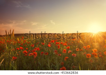 landscape with nice sunset over poppy field - stock photo
