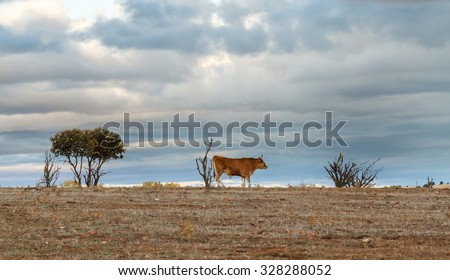 Landscape with Ox. - stock photo
