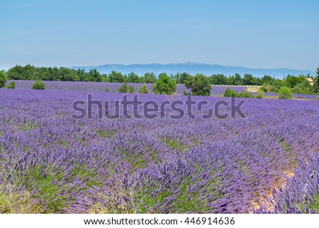 landscape with rows of fresh lavender field under summer blue sky, France - stock photo