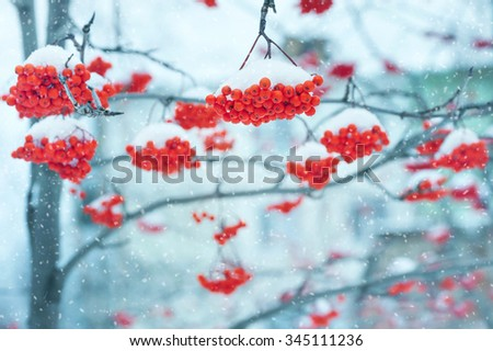 Landscape with snow-covered clusters of bright red rowan - stock photo
