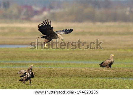 Landscape with three Eagles - adult in flight and immature and adult perched. Village in the background. - stock photo