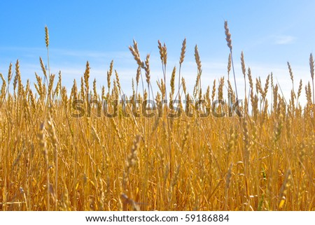 landscape with  wheat field on blue sky - stock photo