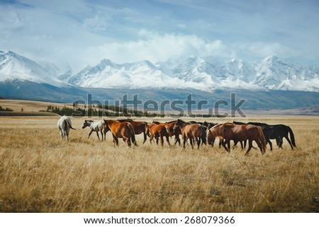 landscape with wild horses near the mountain. Altai, Siberia. - stock photo