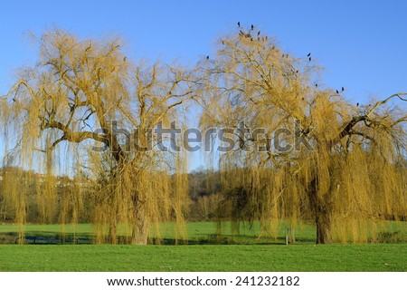 Landscape with willow trees - stock photo