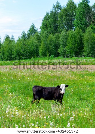 Landscape with young calf on a green field - stock photo