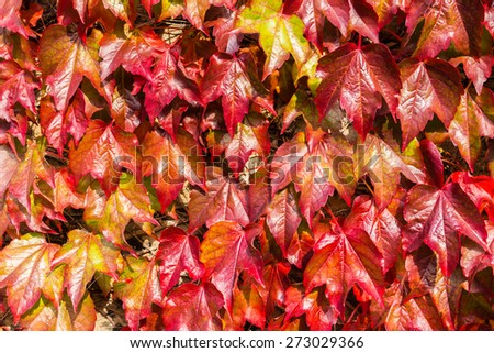Landscaped close-up of a colorful, shiny and natural looking red ivy on a wall in Scotland, UK. The ambient bright light highlights the freshness of the leaves. - stock photo