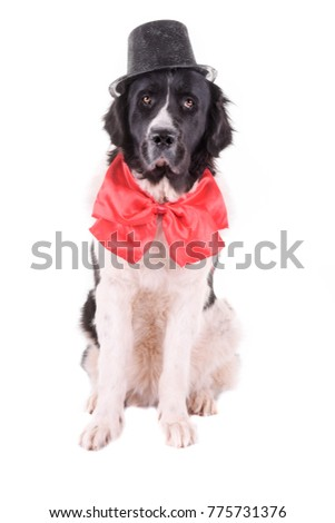 landseer dog isolated in front on white background