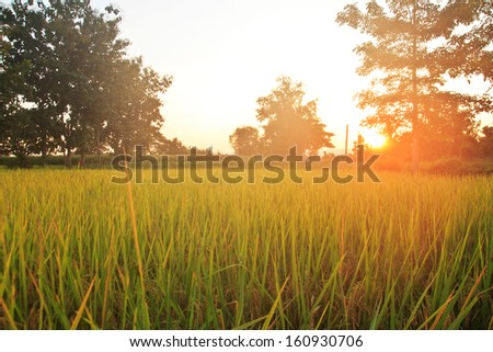 Landspace view over paddy field plantation in morning sunrise - stock photo
