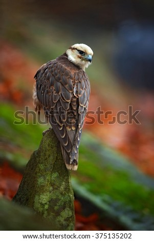 Lanner Falcon, Falco biarmicus, bird of prey sitting on the stone, orange habitat in the autumn forest, rare animal, France - stock photo