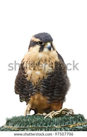 Lanner Falcon, Falco biarmicus, isolated on a white background