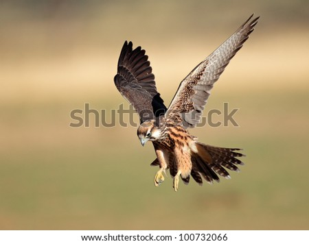 Lanner falcon (Falco biarmicus) landing with outstretched wings, South Africa - stock photo