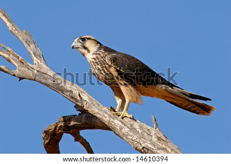 Lanner falcon (Falco biarmicus) perched on a branch, Kalahari desert, South Africa - stock photo