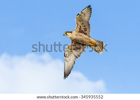 Lanner Falcon passing. An impressive lanner falcon speeds across the sky. - stock photo