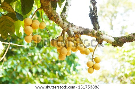 Lansium domesticum, also known as langsat, buahluku or lanzones. One of the Malaysia domestic fruit. - stock photo