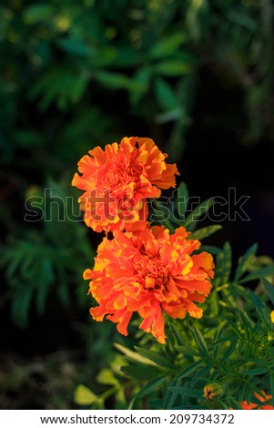Lantana camara - stock photo