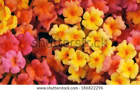 Lantana camara flower in studio