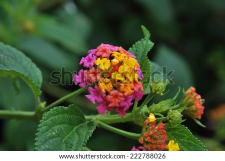Lantana, plant with flowers of different colors. Botany and nature concept - stock photo