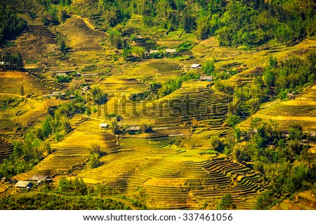 Laocai, Vietnam, Sep 11, 2015: Rice fields on terraced near Sapa, Laocai, Vietnam. Rice fields prepare the harvest at Northwest Vietnam. it's a famous location for trave