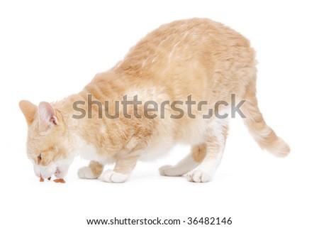 LaPerm Cat eating on white - stock photo