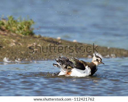 Lapwing taking a bath in a lake, Vanellus vanellus - stock photo