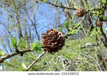 larch cone (Larix decidua) - stock photo