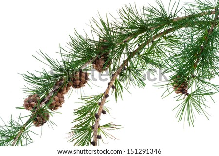 larch cones on branch of conifer tree isolated on white background