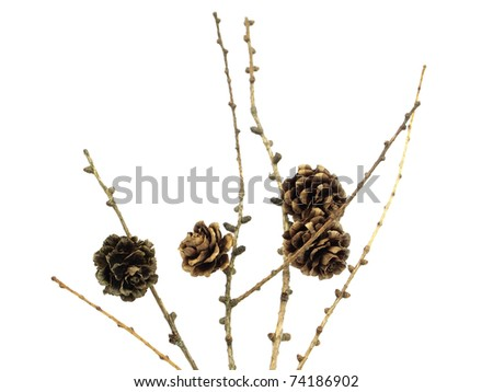 larch cones on the white isolate background - stock photo