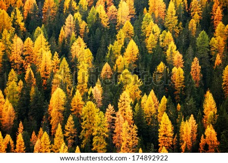 Larch Tree Stock Images, Royalty-Free Images & Vectors