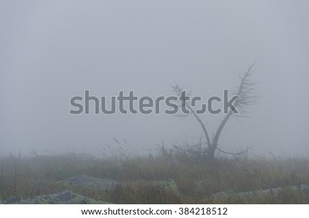 larch tree in the fog