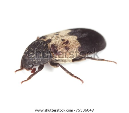 Larder beetle (Dermestes lardarius) isolated on white background, extreme close up with 3:1 magnification, focus on eyes