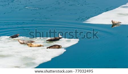 Larga Seals resting on floating ice near the russian Vladivostok - stock photo