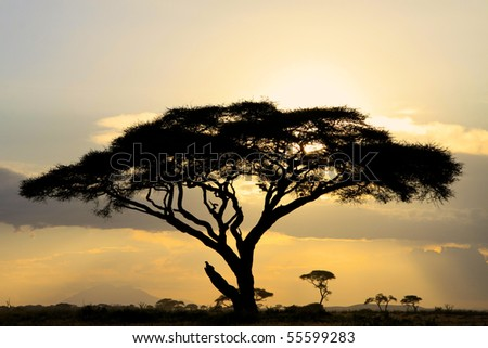 Large acacia tree backlit at sunset in African National Park
