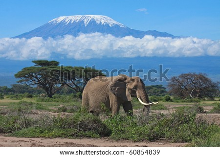 Large adult elephant with a snow covered Mount Kilimanjaro in the background - stock photo