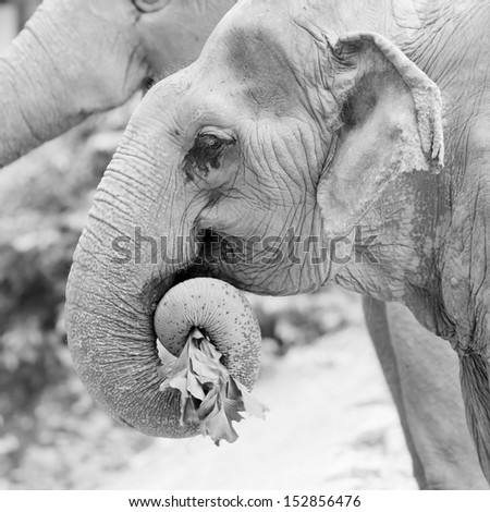 Large africal elephant eating in a field - stock photo