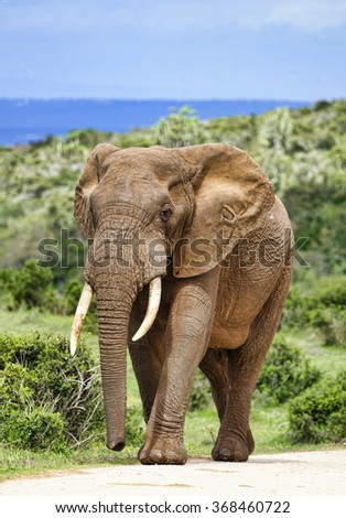 Large African elephant bull (Loxodonta africana), Addo Elephant National park, South Africa. - stock photo