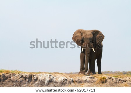 Large African elephant (Loxodonta Africana) on the banks of the Chobe River in Botswana drinking water and playing in the mud - stock photo