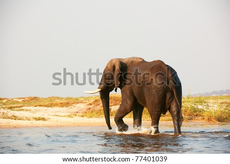 Large African elephant (Loxodonta Africana) walking in the river in Botswana