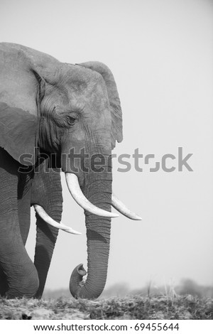 Large African elephants (Loxodonta Africana) eating in savanna in Botswana, black and white