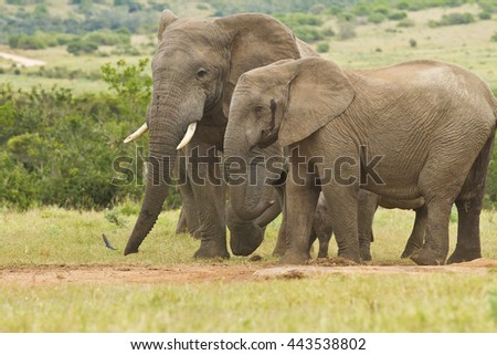 Large African elephants standing together at a water hole - stock photo