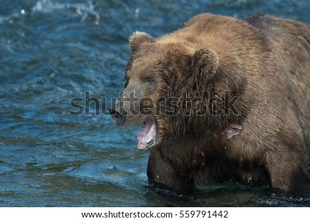 Large Alaskan brown bear with its mouth open standing in Brooks RIver in Katmai National Park, Alaska