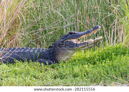 Large American alligator with its mouth open while basking in the sun on the shore of a Florida waterway - stock photo