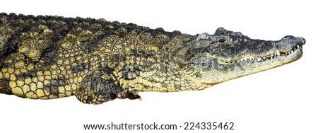 large American crocodile on an isolated white background - stock photo