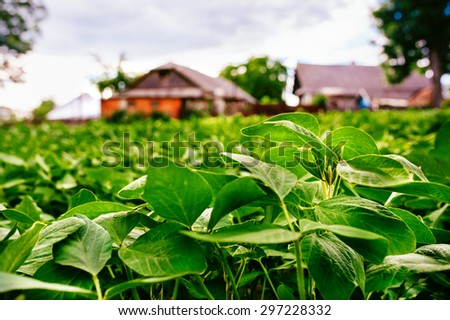 Large and healthy soy is on the farmer field. In the background blured house of farmer. - stock photo